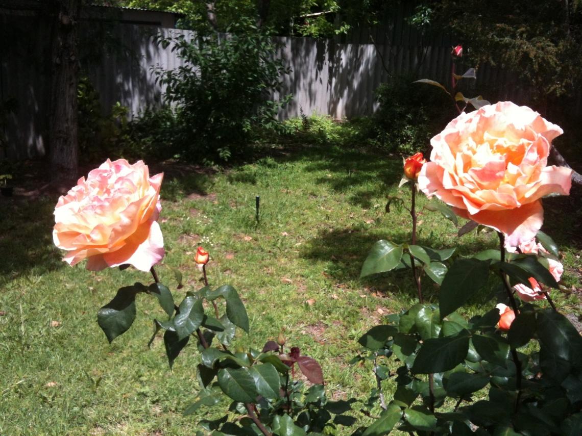 roses-013